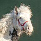 Here4Horses_Ponies_Noggin_05